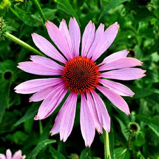 Echinacea purpurea supplements for horses